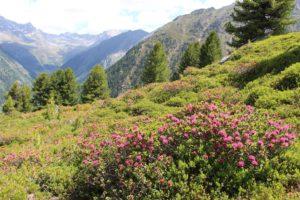 Roses des Alpes, plateau de Niederthai, vallée Ötztal © Hotel Falknerhof